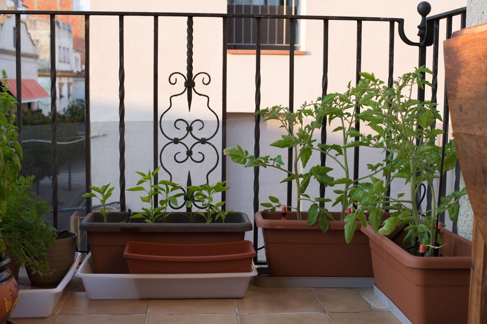 Tomates y pimientos en el balcón y riego automático