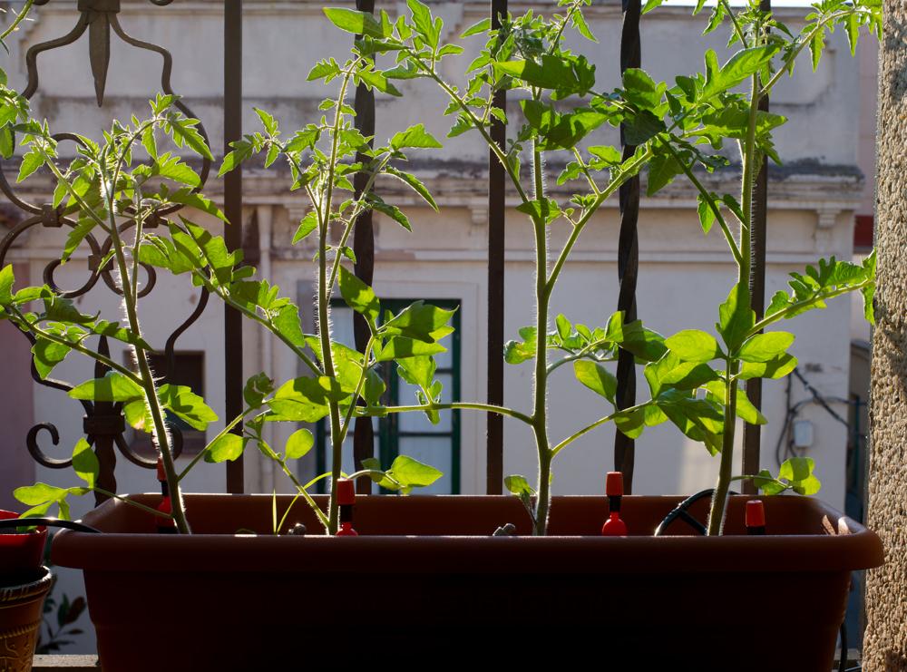 Tomates en el balcón y riego automático
