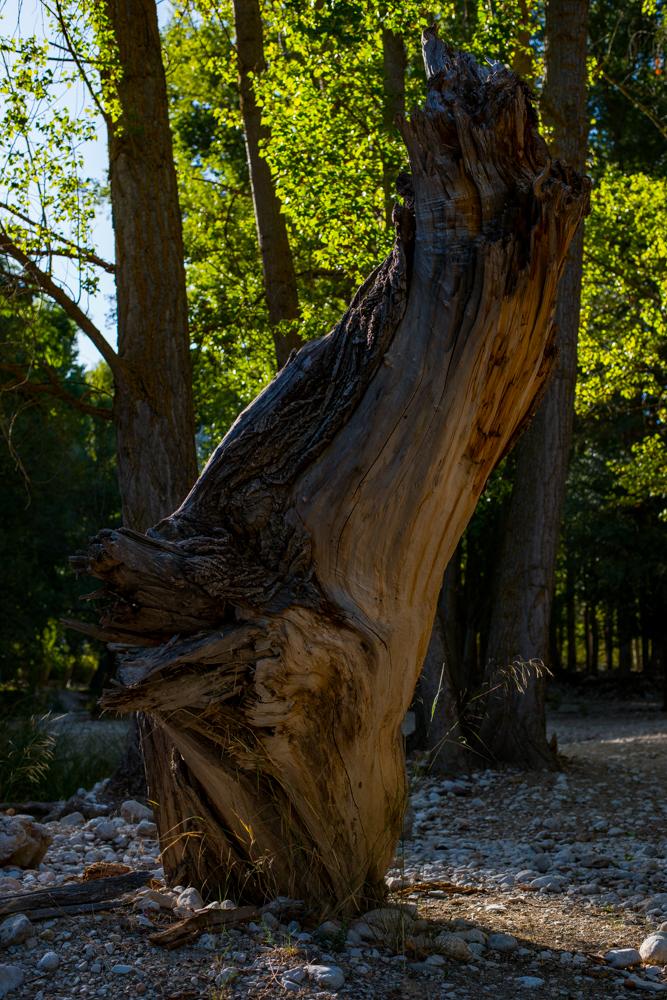 Majestuoso tronco en el cauce del río Guadalentín a su paso por el Paraje natural de Peralta, situado en el término municipal de Pozo Alcón en la provincia de Jaén(España)