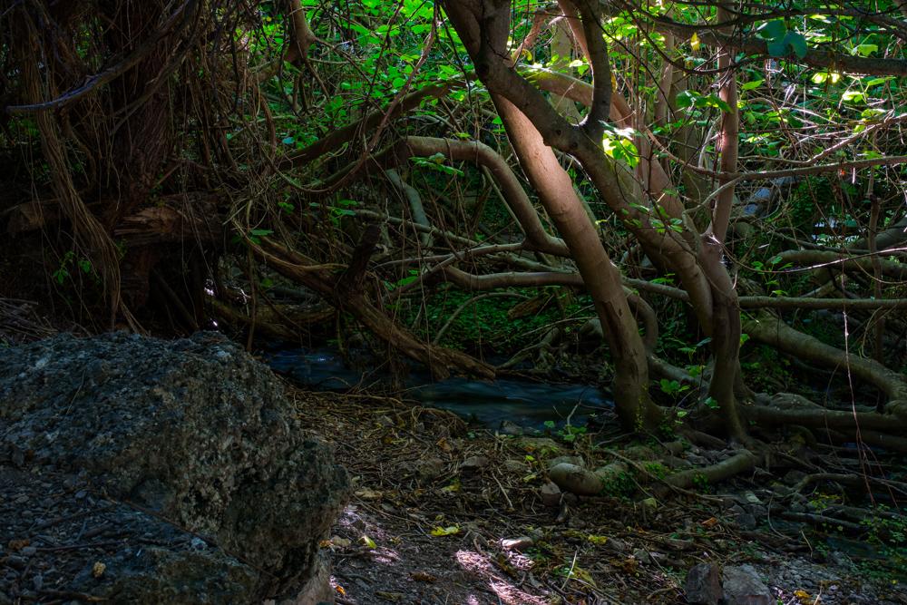 Bosque encantado de las higueras en la ribera del cauce del río Guadalentín a su paso por el Paraje natural de Peralta, situado en el término municipal de Pozo Alcón en la provincia de Jaén(España)